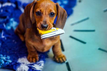 Dachshund puppy portrait shoe plaid background