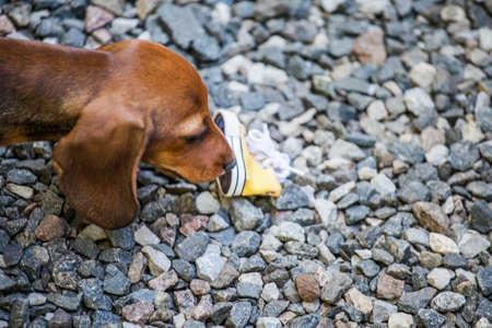Dachshund puppy portrait shoe stone background