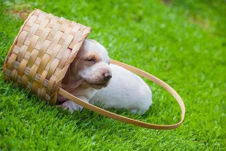 puppy portrait basket grass background