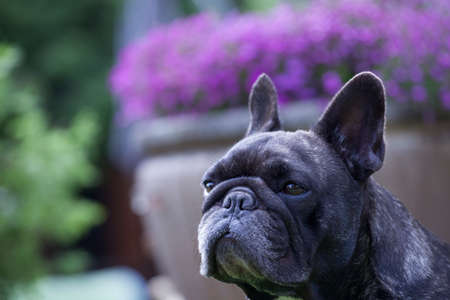 french bulldog portrait flower background Stock Photo