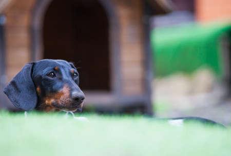 dachshund dog portrait garden