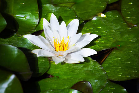white water lily river background Stock Photo