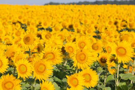 young sunflower field nature background
