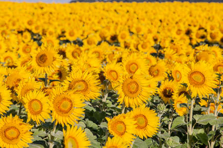 young sunflower field plant background