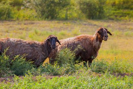 wild black sheep field background
