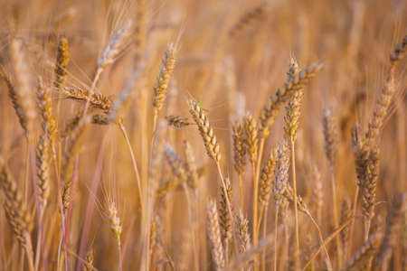 field wheat plant nature background