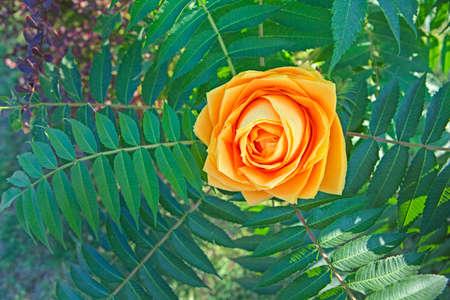 paper rose flower plant background