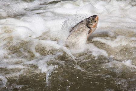Fisch springen Süßwasserhintergrund