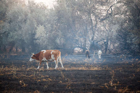 cow animal field after fire