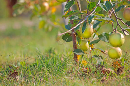 apple fruit tree grass background
