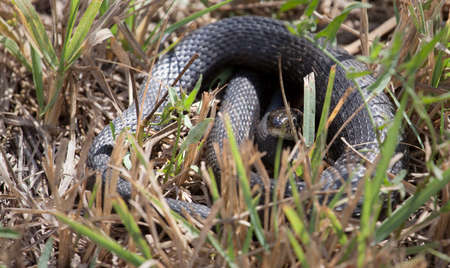 wild snake dry grass background