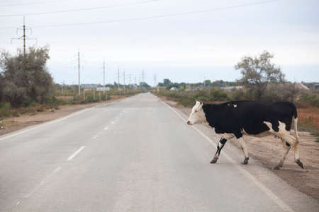 cow animal asphalt road background