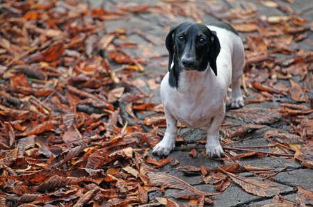 dachshund dog autumn leaf background