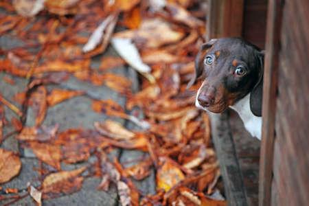 wooden dog kennel puppy portrait