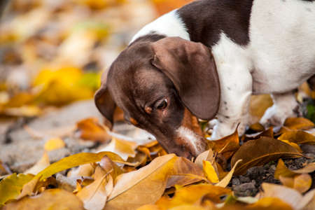 dachshund dog portrait autumn leaf background Stock fotó