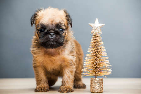 puppy portrait gold fir tree