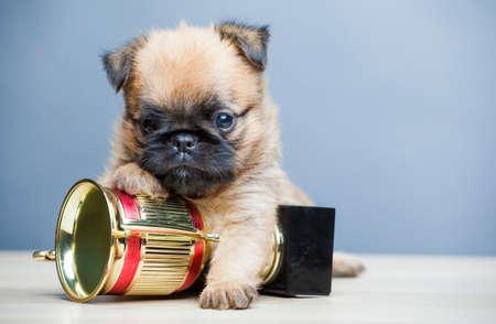 puppy portrait gold cup table Stok Fotoğraf