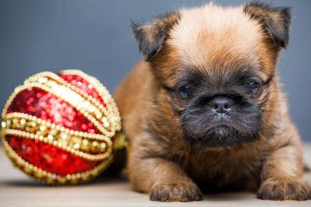 puppy portrait ball table background Stok Fotoğraf