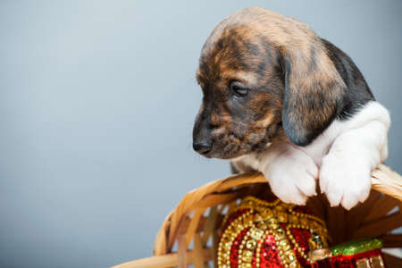 puppy portrait basket new year toy Stok Fotoğraf
