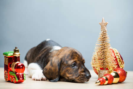 puppy portrait new year toy table background Stok Fotoğraf