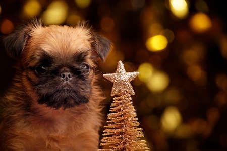 puppy portrait gold fir tree