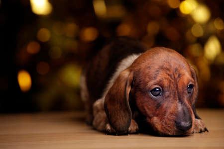 puppy portrait table gold bokeh