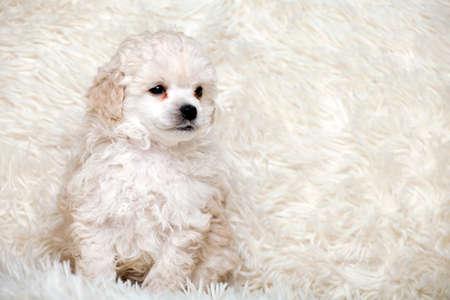 puppy portrait wool plaid background