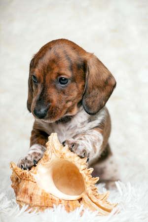 puppy portrait seashell wool plaid background