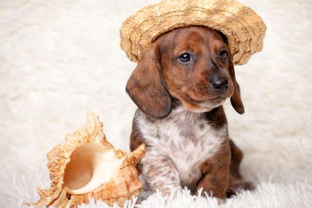 puppy portrait hat seashell wool plaid background Stok Fotoğraf