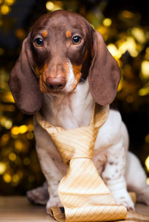 dog portrait tie gold bokeh