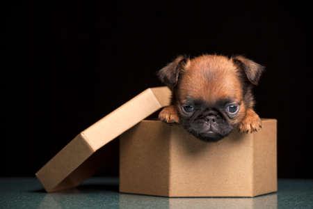 puppy portrait paper box dark background