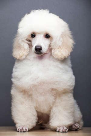 image of dog on gray background Stock Photo