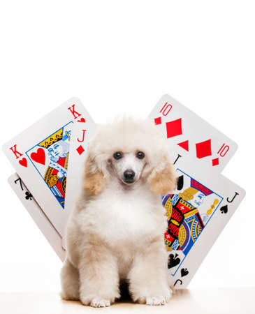 image of dog with playing cards on white background