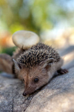 image of wild young hedgehog