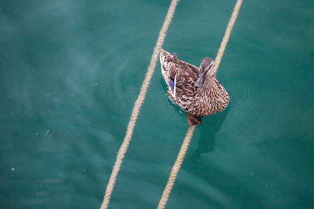 A duck sitting on a rope at the Garda lake.
