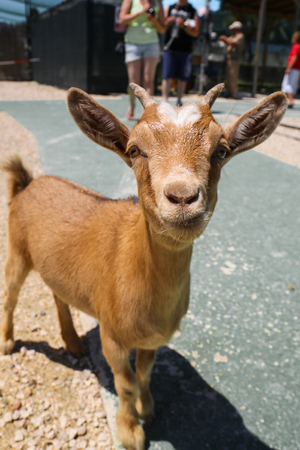 Little brown baby goat portrait. Stock Photo