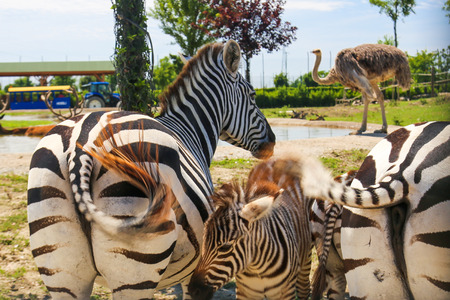 baby ass: A zebra family and ostrich Stock Photo