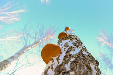 白樺の木に寄生キノコ。下のビュー。背景に青空。