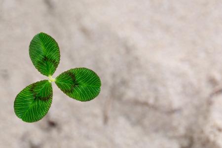 Fresh dutch clover (Trifolium repens) on a sand background.
