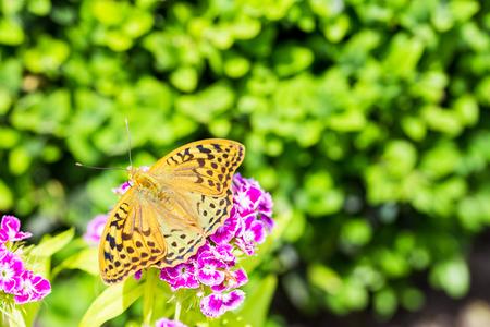 Beautiful butterfly on a carnation ( Dianthus barbatus) flower in a garden.