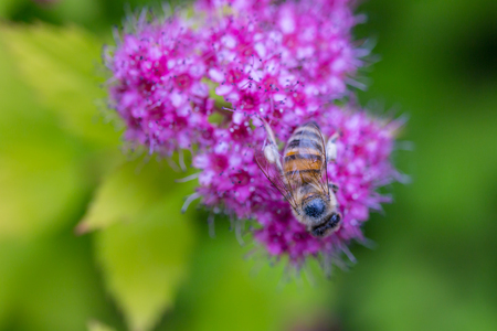 A bee gathering pollen on Spirea Japonica. Close-up macro