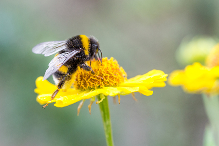 Close up of beautiful striped bumblebee gathering pollen from yellow garden flower. Blurred soft background