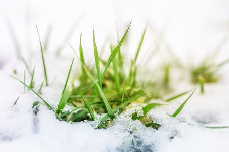 Close-up of green grass sprout through snow cover. Beginning of spring. End of Winter. Nature awakening concept Stock Photo