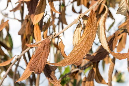 Wiltered brown leaves on tree branch. Frostbitten dead plant. Damaged by early frost foliage.    Stock Photo