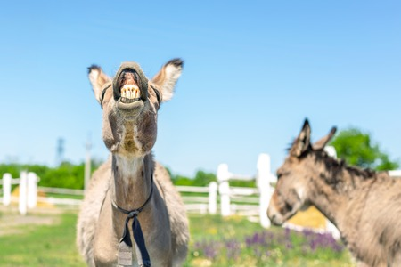 Funny laughing donkey. Portrait of cute livestock animal showing teeth in smile. Couple of grey donkeys on pasture at farm. Humor and positive emotions concept Reklamní fotografie