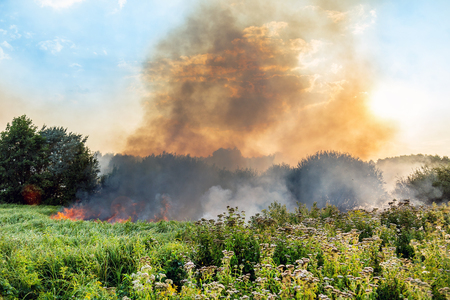 Forest wildfire. Burning field of dry grass and trees. Heavy smoke against blue sky. Wild fire due to hot windy weather in summer