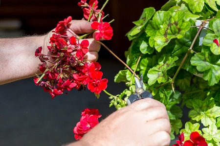 Man trimming dead geranium flowers with scissors. Gardening and maintenance concept. Landscape design.