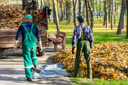 Workers removing fallen leaves in autumn in city parl. seasonal foliage cleaning in fall. Uploading garbage into truck Stok Fotoğraf