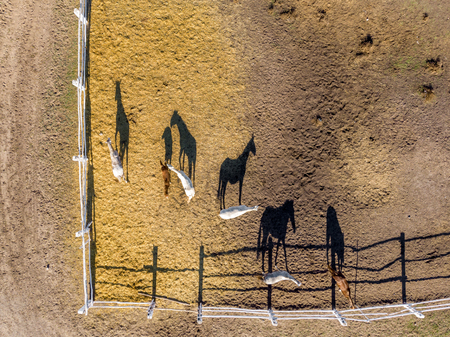 Group of thoroughbred horses walking and grazing in paddock near stable. Long evening afternoon shadow. Beautiful animals at farm or ranch. Aerial top view from drone.