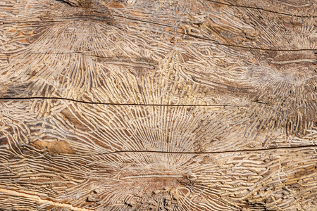 Pattern on tree trunk log after damage caused by bark beetle. Natural wooden texture background. Stockfoto